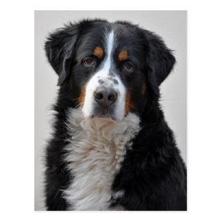 Bernese Gebirgshundeschöne Fotopostkarte Postkarte