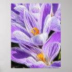 Beständige lila gestreifte Krokusse Poster
