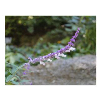 Beständiges Salvia Postkarte