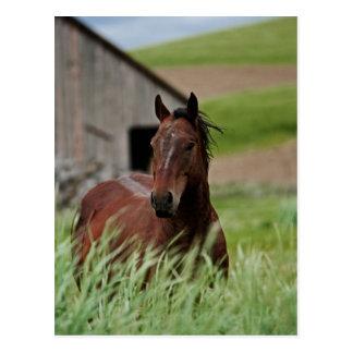 Betrachtungspferde auf einem Gebiet im Palouse Postkarte