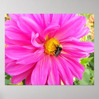 Biene auf der rosa Dahlie mit Blumen Poster