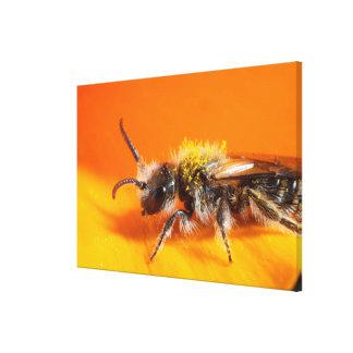 Biene, die eine Blume bestäubt Leinwanddruck