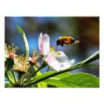 Biene u. weiße Blumen-Fotografie
