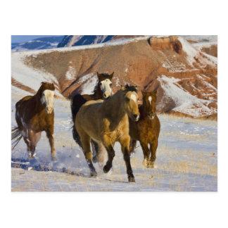 Big Horn-Berge, Pferde, die in den Schnee 3 laufen Postkarte