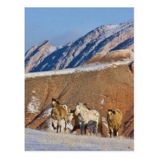 Big Horn-Berge, Pferde, die in den Schnee laufen Postkarte