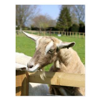 Billy die Ziegen-Postkarte Postkarte