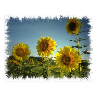Bio Garten-Sonnenblume-Postkarte Postkarte