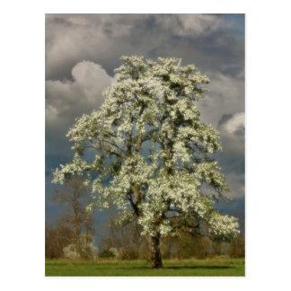 Birnenbaum in der Blüte Postkarte