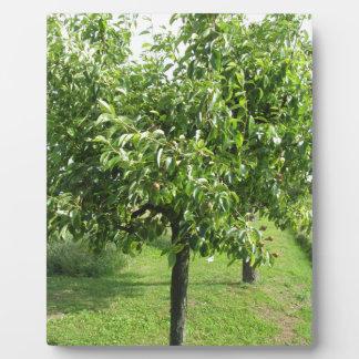 Birnenbaum mit Grün-Blätter und roten Früchten Fotoplatte