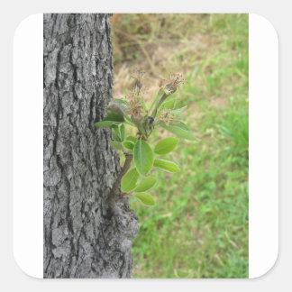 Birnenbaumzweig mit den Knospen im Frühjahr Quadratischer Aufkleber