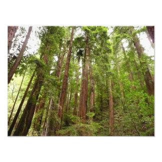 Bis zu den Rothölzern am Muir Holz-nationalen Fotodruck