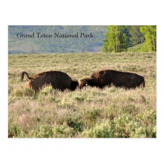 Bison-Konflikt-Postkarte Postkarte