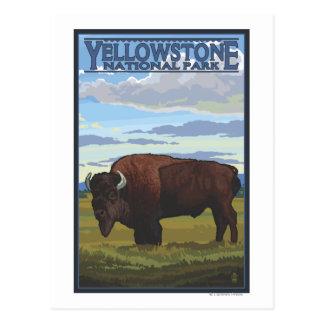 Bison-Szene - Yellowstone Nationalpark Postkarte