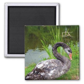 Black Swan Quadratischer Magnet