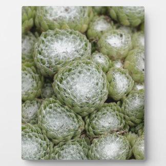 Blätter eines Spinnennetzhausporrees, Sempervivum Fotoplatte