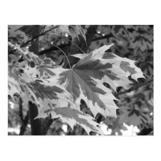 Blätter in Schwarzem u. im Weiß Postkarte