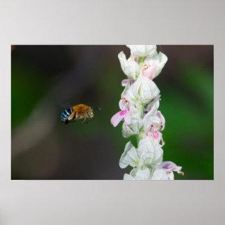 Blau-mit einem Band versehene Biene Poster