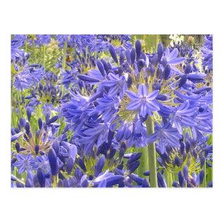 Blaue Agapanthus-Blumen-Postkarte Postkarte