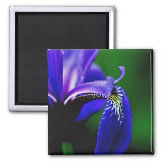 Blaue Flaggen-Iris-Blumen-naher hoher Magnet