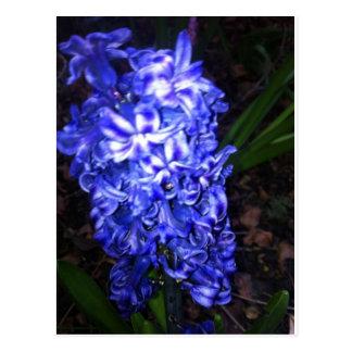 Blaue Hyazinthe Postkarte