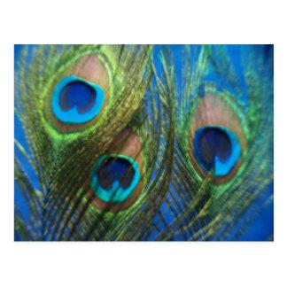 Blaue Pfau-Federn Postkarte