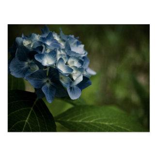Blaue Postkarte des Hydrangea-8519