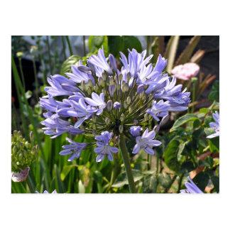 Blauer Agapanthus, der an einem sonnigen Tag blüht Postkarte
