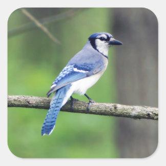 Blauer Jay-Aufkleber Quadratischer Aufkleber