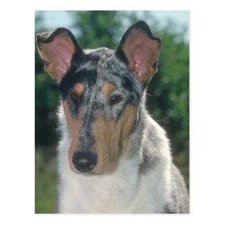 Blauer Merle Collie-glatter Mantel Postkarte
