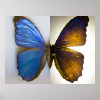 Blauer Morpho Schmetterling beide Seiten Poster