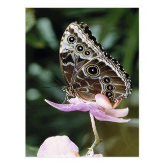 Blauer Morpho Schmetterling Postkarte
