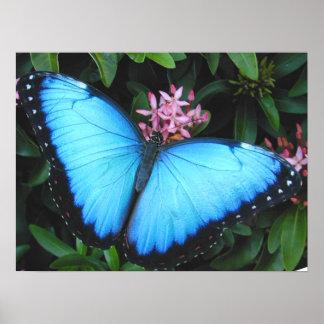 Blauer Morpho Schmetterlings-Druck Poster