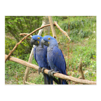 Blauer Papagei Postkarte