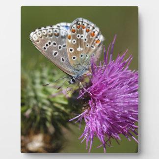 Blauer Schmetterling Adonisses (Polyommatus Fotoplatte