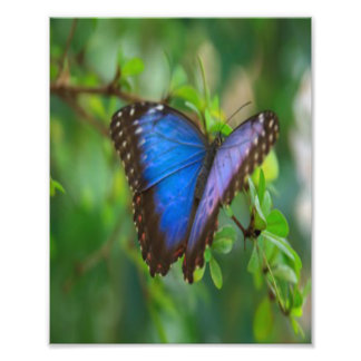 Blauer Schmetterling Fotodruck