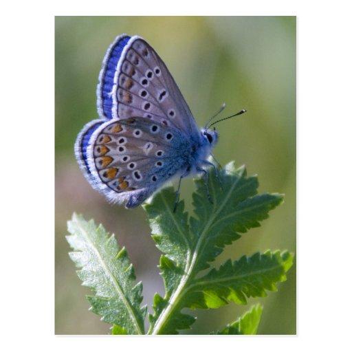 blauer Schmetterling Postkarten