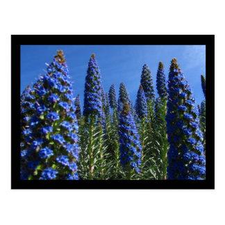 Blauer Stolz von Madeira-Blumen Postkarte