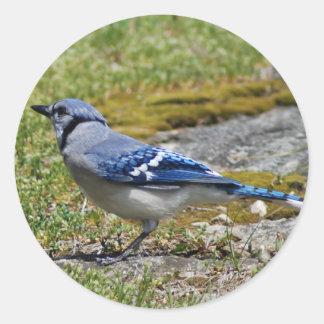 Blaues Jay auf GranitOutcropping mit Moos auf Rand Runder Aufkleber