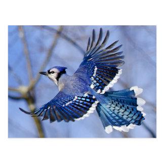 Blaues Jay in der Flug-Postkarte Postkarte