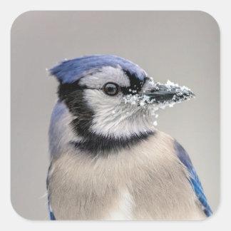 Blaues Jay mit Schnee auf seinem Schnabel Quadratischer Aufkleber