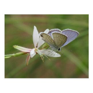 Blaues Marinebutterfy auf Gaura Blüte Postkarte