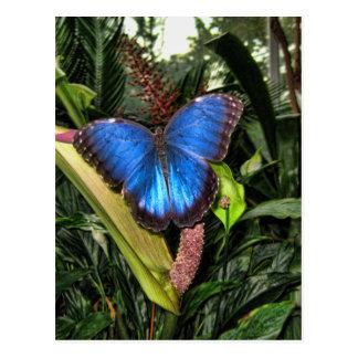 Blaues Morpho Peleides Postkarte