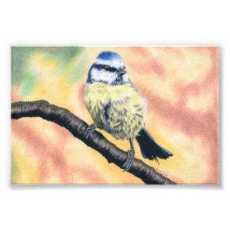 Blaumeise - Farbstiftzeichnung Fotodruck
