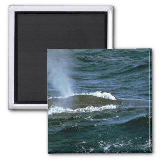 Blauwal Quadratischer Magnet