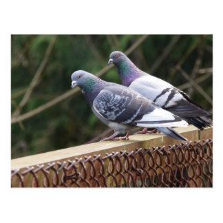 Blickende Tauben Postkarte