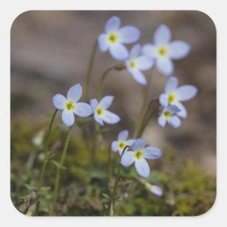 Bluets kleine lila Blumen-Wildblume-Aufkleber Quadratischer Aufkleber