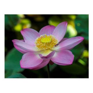 Blühende Lotos-Blume, Indonesien Postkarte