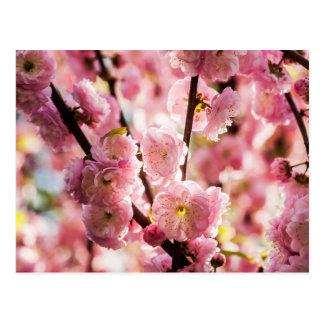 Blühende Pflaume - rosa Paradize Postkarte