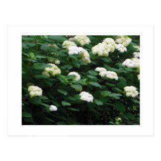 Blühende Schneebälle Postkarte