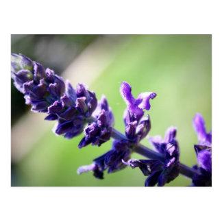 Blühendes lila Salvia Postkarte